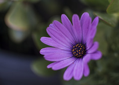 african daisy (Indigo Skies Photography) Tags: street family pink flowers blue trees light red summer sky orange plants sun white black flower color colour tree green art classic home me nature water leaves yellow clouds garden petals nikon dof purple bokeh africandaisy scent d7100 nikonafsdxnikkor35mmf18g nikond7100