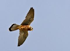 Kestrel at Bournemouth. Falco tinnunculus (wontolla1) Tags: bird canon 350d hunting falcon prey bournemouth kestrel hovering tinnunculus hover falco