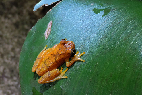 San Ignacio - Small-headed Tree Frog