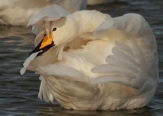 Álft (Cygnus cygnus) - Whooper Swan