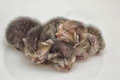 3 little kitten (azahar photography) Tags: animals cat paw kitten cutecat babycat fourlegs newborncat