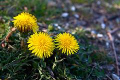 20160331_0039 (mystic_violet) Tags: vienna wien flower yellow austria sterreich spring gelb blume frhling lwenzahn schneswetter gewhnlicherlwenzahn taraxacumsectruderalia nikond3300 darktable