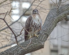 Female hawk, likely suffering from rat poison (Goggla) Tags: park new york nyc red urban bird female pond rat chinatown adult hawk manhattan wildlife tail raptor poison sick collect rodenticide