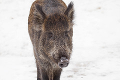 Wild Boar (Eunice Gibb) Tags: canada forest quebec wildlife parc parcomega forestanimals montebello canadianwildlife canadiananimals quebecwildlife