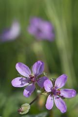 Filaree Flower