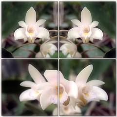 (Tlgyesi Kata) Tags: orchid whiteflower spring mosaic budapest greenhouse botanicalgarden orchidea mozaik  fvszkert botanikuskert veghz withcanonpowershota620 dendrobiumdelicatum