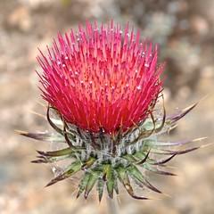 Cirsium occidentale var. venustum, VENUS THISTLE (openspacer) Tags: thistle wildflower cirsium asteraceae pinnaclesnationalpark