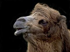Spring smells good! (dolorix) Tags: animal zoo tier kamel bactriancamel colognezoo klnerzoo trampeltier camelusbactrianus dolorix