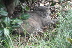 Sleeping Tiger (Matilda&Charlie&Josie ~ MCJ) Tags: cat matilda 10yo sleepingtiger soretooth greybluecreamtortoiseshell