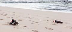 Family of Oystercatchers _3118 (hkoons) Tags: ocean sea plants bird beach beagle wet water sunshine birds fauna outdoors island volcano islands seaside ecuador flora marine rocks warm surf waves pacific wildlife flight beak feathers reserve darwin evolution spray galapagos charlesdarwin spanish pacificocean jungle perch oystercatcher species aviary volcanic tropics province waders oystercatchers seabird saltwater archipelago humid feathered naturalselection galpagos haematopus faunaandflora isladelobos sancristobel cerrobrujo haematopodidae new7wonders islasgalpagos galpagosnationalpark sancristobelisland galpagosmarinereserve