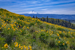 Mt. Hood and wildflowers seen along the Tom McCall Preserve hike, Oregon (diana_robinson) Tags: flowers mountain yellow oregon landscape spring hike mthood sunflower wildflowers hillside balsamorhiza balsamorhizasagittata arrowleafbalsamroot rowenacrest tommccallpointtrail balsamroots balsamrootflower tommccallpreservehike