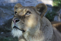Lioness.. (ele220390) Tags: eye animal zoo eyes tiger free occhi felini tigre animali