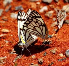 Kalahari Butterfly (Angel-19) Tags: butterfly southafrica desierto kalahari sudafrica