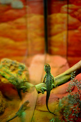 LIZZARD @TARONGA ZOO (dale hartrick) Tags: animals zoo reptile sydney australia lizzard taronga tarongazoo