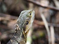 Eastern Water Dragon, Australia (davidpetergibbins) Tags: