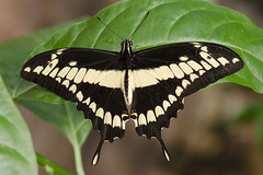 Swallowtail butterfly / Page / Papilio sp. (Greeney5) Tags: macro butterfly insect insects page swallowtail swallowtailbutterfly vlinder insecten papilio papilionidae vlindertuin tropischevlindertuin vlindertuinkleincostarica kleincostarica