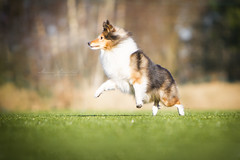 Happy Mali in action! (Marie Balstad) Tags: light dog colors training canon outside outdoors happy jumping action sheltie sheepdog shetland active