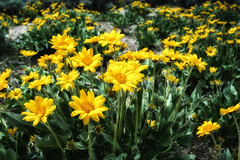 Wildflowers (Dave Heise) Tags: flowers orange yellow carson vibrant indian nevada hills valley wildflowers