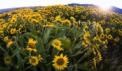 Daybreak Daisies (fotostevia) Tags: columbiarivergorge rowenacrest sunrise balsamroot dawn daybreak springflower yellowflower mosierplateau