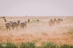 _N6A1642 (Kappas valokuvaamo) Tags: africa park wild game nature animal animals landscape drive kenya wildlife east safari national zebra kenia tsavo zebras equus quagga afrikka