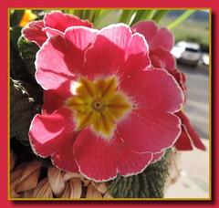 Primel (Primula) (p_jp55 (Jean-Paul)) Tags: flower fleur luxembourg primula luxemburg bloem primel kayl ltzebuerg primevre