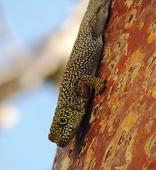 Gecko At Spiny Forest