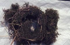 Transverse section of a wren's nest, moss from behind timber in Colstrope barn, Bucks (Mary Gillham Archive Project) Tags: bird england 3027 buckinghamshire colstrope hambledon su7888 troglodytestroglodytes wren