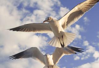seagulls lurking