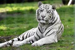 White tiger (gondamilan) Tags: white nikon d750 80400mm f4556