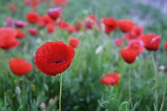 Poppies,poppies,poppies (Viagens5) Tags: flowers red flores verde green beauty nikon vermelho poppies fields beleza papoilas