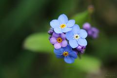 Myosotis (Mariie76) Tags: macro nature fleurs verdure color violettes myosotis macrophotographie bleues