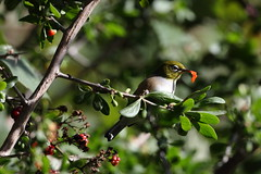 035A1702 (damianbuck54) Tags: pink green eye silver head eating side ring petal silvereye girdle lateralis zosterops