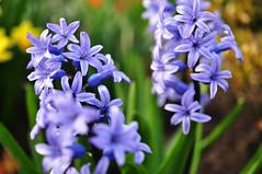 Blue hyacinthus. (kachnch) Tags: flower macro spring nikon 40mm hyacinthus d5000