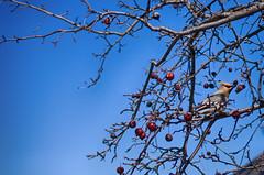 Perched in the Sky (flashfix) Tags: april052016 2016 2016inphotos nikon d7000 nikond7000 ottawa ontario canada 40mm bird bluesky crabapples lines branches vibrant coldday waxwing bohemianwaxwing bombycillagarrulus nature mothernature animal notmyfavouritebirdshot flashfix flashfixphotography