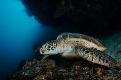 Green Turtle resting (Luko GR) Tags: blue nature animal coral outdoor turtle reptile philippines wideangle diving fisheye bohol reef visayas panglao balicasag