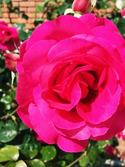 The Spring is Here (tuncvidinli) Tags: pink flower nature beauty rose spring gl iek doa pembe gzellik