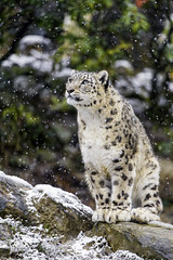 Djamila watching the snow fall (Tambako the Jaguar) Tags: winter wild portrait snow cold female cat zoo switzerland big nikon waiting rocks sitting emotion stones watching fluffy calm thinking zrich snowleopard d4 uncia