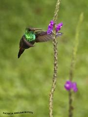 Colibri de Cola Roja 2 (pniselba) Tags: bird costarica hummingbird pajaro arenal colibri picaflor rufoustailedhummingbird amaziliatzacatl amazilia tzacatl colaroja