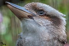 Kookaburra (lpd5358) Tags: bird tampa zoo florida kookaburra lowryparkzoo
