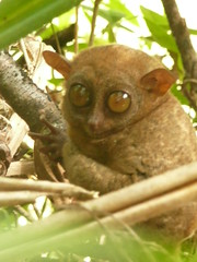 Big Eyes in the Forest, not in the zoo (Brice Retailleau / Quintessence de Voisinage) Tags: travel macro green nature animal animals fauna composition forest countryside asia colours angle outdoor earth wildlife details philippines scenic vert bohol colourful extrieur primate tarsier animaladdiction fantasticwildlife