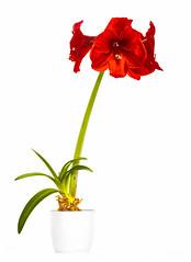 Amaryllis (Stuart Feurtado) Tags: red plant flower color colour macro nikon amaryllis highkey hippeastrum sigma105mm d810