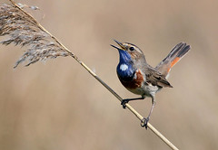 Blues Brother (Ger Bosma) Tags: male bird happy spring singing singer cheerful songbird insong bluethroat lusciniasvecica lusciniasvecicacyanecula blauwborst blaukehlchen whitespottedbluethroat witsterblauwborst 2mg172010afiltered