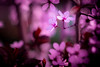 Something pink (matthiasstiefel) Tags: pink plant flower color colour zeiss cherry four lumix spring soft blossom bokeh pflanze dream rosa micro 桜 sakura cherryblossoms blume farbe farben frühling thirds 櫻花 traum ساكورا biotar gx8 kirschblüten mft weich coleur sanft 사쿠라 biotar58mmf20 សាគូរ៉ា