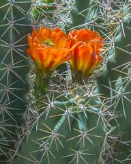 Arizona claret-cup cactus (wplynn) Tags: flowers arizona cactus flower bird cup animal animals museum desert tucson wildlife sonoran claret arizonicus arizonasonorandesertmuseum echinocereus claretcup coccineus