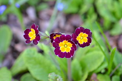 In my garden (hcorper) Tags: bokeh hbw 100flowers