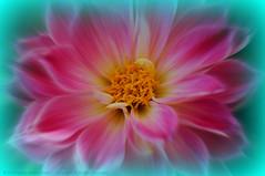 Chacra (ironmember) Tags: macro wonderful raw power awesome fiore petali raggi energia magia pianta chacra potere peonia sviluppo allaperto meraviglia fascino emozione esoterismo camerachiara luceambiente