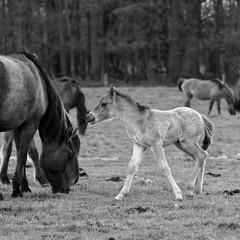 Wild Horses in black-and-white - Foal - 2016-014_Web (berni.radke) Tags: horse pony herd nordrheinwestfalen colt wildhorses foal fohlen croy herde dlmen feralhorses wildpferdebahn merfelderbruch merfeld przewalskipferd wildpferde dlmenerwildpferd equusferus dlmenerpferd dlmenpony herzogvoncroy wildhorsetrack