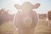 d_IMG_5317_MartenSvensson (Bad-Duck) Tags: mat ko husdjur bete höst alvar porträtt motljus betesmark kväll jordbruk lantbruk årstid livsmedel livsmedelsproduktion köttko