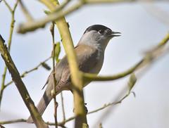 Blackcap at Brandon Marsh (robmcrorie) Tags: male bird nature nikon wildlife birding brandon conservation marsh coventry f56 warwickshire 200500 blackcap sssi