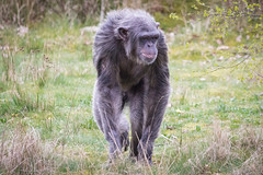 Chimpanzee 2016-04-06-0033 (bzd1) Tags: nature animal mammal natuur pan chimpanzee beeksebergen primates pantroglodytes chimpansee chordata synapsida hominidae commonchimpanzee hominini haplorhini
